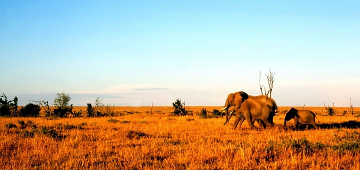 Elephants in Kenya. Photograph by Dave Dyet