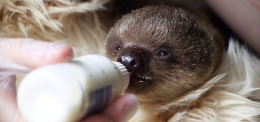 Sloth baby Edward being bottle fed at ZSL London Zoo