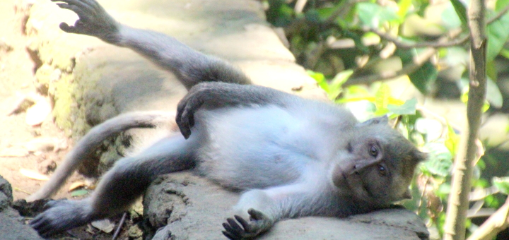 One of Ubud's famous monkeys. Photograph by Astrid Schmid